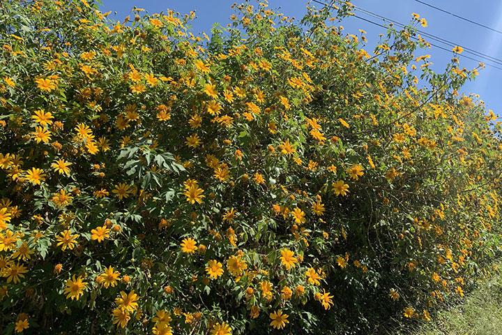 Ong hút mật từ hoa dã quỳ